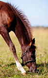 Brown foal on a meadow. Royalty Free Stock Photos