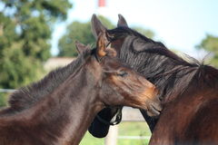 Brown Foal Nuzzling His Mother Royalty Free Stock Images