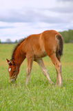 Brown foal on pasture Stock Images