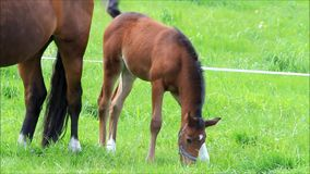 Brown foal on pasture stock video