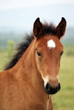 Brown foal portrait. Close up Stock Images