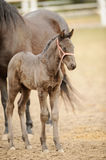 Brown foal standing next to filly in corral Stock Photos