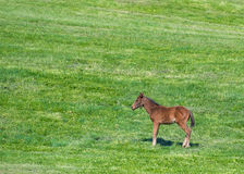 Brown Foal Stands in Green Field. With copy space Royalty Free Stock Images
