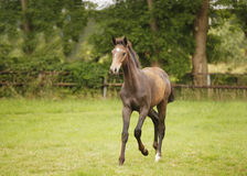 Brown foal trots Stock Photos