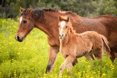 Brown foal walking with its mother royalty free stock photo
