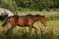 Brown foal walking at the pasture Royalty Free Stock Images