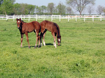 Brown foals in corral Royalty Free Stock Image