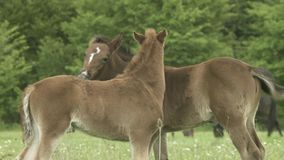 Brown Foals Playing On Pasture. Two little brown foals playing on green grass at summer time stock video