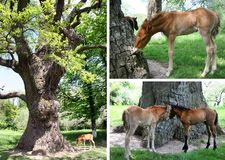 Brown foals on a summer morning graze under an old big oak tree on spring green grass. The foal eats bark royalty free stock images