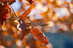 Brown foliage on the branch in sunlight. Lovely autumn background with bokeh effect royalty free stock photo