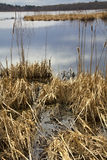 Brown foliage of cattail marsh, Great Meadows National Wildlife Stock Image