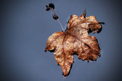 Brown foliage leaf in the water Royalty Free Stock Images