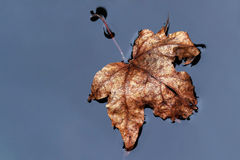 Brown foliage leaf in the water Stock Photography