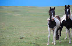 Brown foncé et chevaux blancs de peinture Photo libre de droits