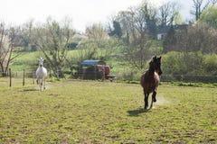 Brown foncé et chevaux blancs galopant dans un domaine vert sur Brig photographie stock libre de droits