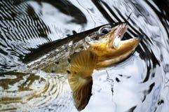 Brown-Forelle Lizenzfreies Stockfoto