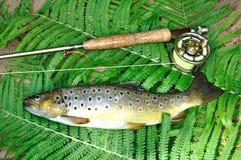 Brown-Forelle Stockfoto