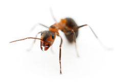 Brown forest ant. Brown forest ant on white background Royalty Free Stock Image