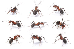Brown forest ants Stock Images