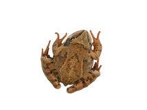 Brown forest frog isolated Royalty Free Stock Image