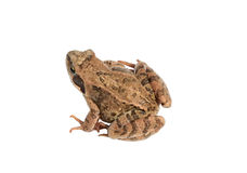 Brown forest frog isolated Stock Photography