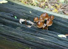 Brown forest mushrooms. On a wooden beam Royalty Free Stock Image