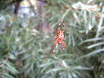 Brown forest spider Stock Photos