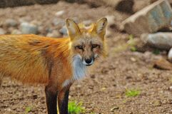 Brown Fox Stock Images