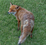Brown fox. Brown female fox with bushy tail calling on edge of Sherwood Forest, Nottinghamshire, England stock photography