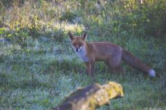 Brown Fox on Green Grass during Daytime Royalty Free Stock Images