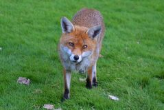 Brown Fox in Green Grass Field Royalty Free Stock Photography