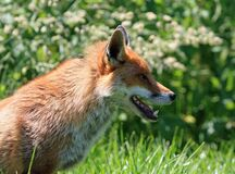 Brown Fox in Green Grass Field during Daytime Royalty Free Stock Images