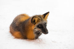 Brown fox. Lying in the snow Stock Photos