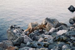 Brown Fox on Rocks Near Body of Water during Day Time Royalty Free Stock Photo