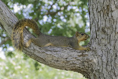Fox Squirrel Stock Photo