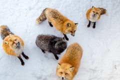 Brown Foxes were waiting beg for food. Snow ground so cute but feral. There are too many foxes with hungry face in fox village Royalty Free Stock Images