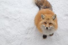 Brown Foxes were waiting beg for food. Snow ground so cute but feral. There are too many foxes with hungry face in fox village Royalty Free Stock Image