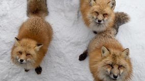 Brown Foxes were waiting beg for food. Snow ground so cute but feral. There are too many foxes with hungry face in fox village Royalty Free Stock Photography