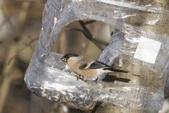 Brown-Frau des Eurasiers Bullfinch, Pyrrhula Pyrrhula, Nahaufnahmeporträt an der Vogelzufuhr von der Plastikflasche Lizenzfreies Stockfoto