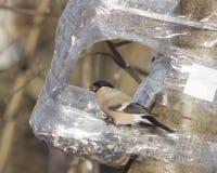 Brown-Frau des Eurasiers Bullfinch, Pyrrhula Pyrrhula, Nahaufnahmeporträt an der Vogelzufuhr von der Plastikflasche Lizenzfreie Stockbilder
