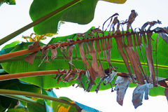 BROWN FRAYED PLANTAIN LEAF Stock Images