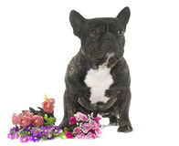 Brown french bulldog Royalty Free Stock Images