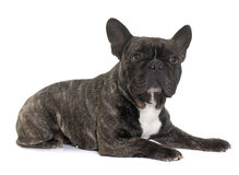 Brown french bulldog Royalty Free Stock Image