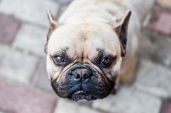 Brown French Bulldog. Looking In The Camera Lens Stock Image