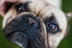 Brown French Bulldog Stock Photography