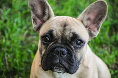 Brown French Bulldog Stock Images