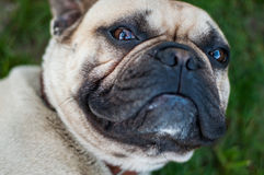 Brown French Bulldog Royalty Free Stock Photography