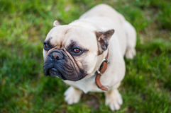 Brown French Bulldog. Looking In The Camera Lens Stock Photo