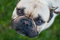 Brown French Bulldog. Looking In The Camera Lens Royalty Free Stock Photo