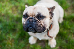Brown French Bulldog. Looking In The Camera Lens Royalty Free Stock Photos